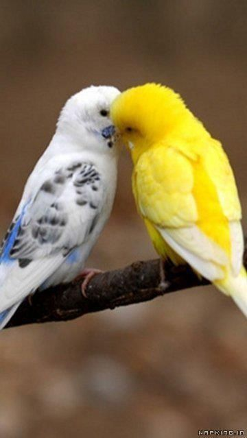 Sweet kiss of a pair of parakeets(budgies) It makes me miss my parakeets that I used to have!