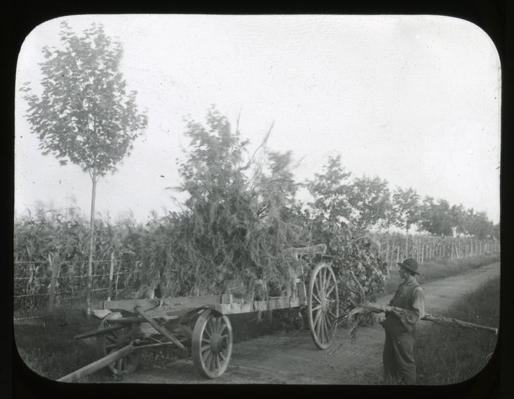 In this photograph a worker at hicks nurseries in westbury new york on long island looks at the wagon used to move trees in