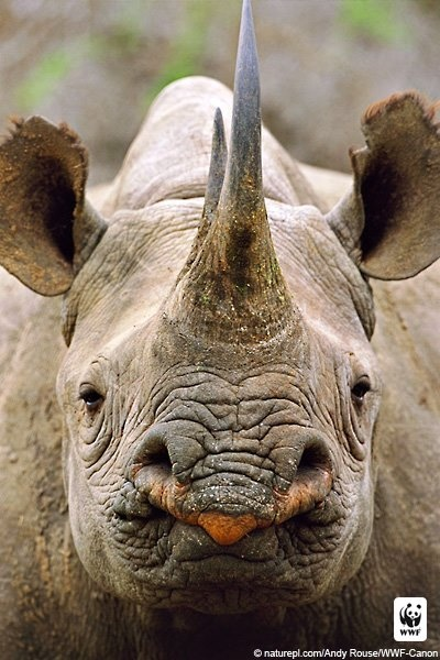 Black rhinoceros, critically endangered species