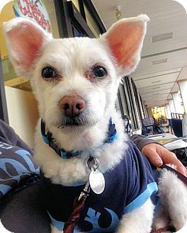 Knoxville, TN - Poodle (Miniature)/Chihuahua Mix. Meet Aspen a Dog for Adoption.