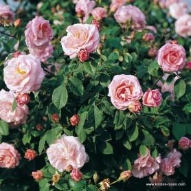 120 best images about wilhem kordes beautiful kordes roses on pinterest shrub roses. Black Bedroom Furniture Sets. Home Design Ideas