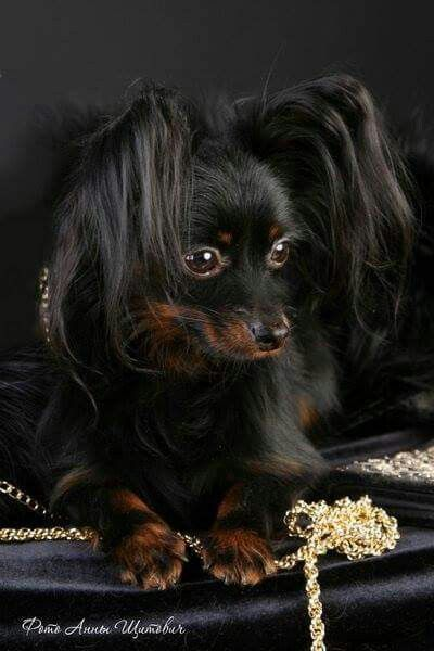 Dog; RUSSIAN toy Terrier