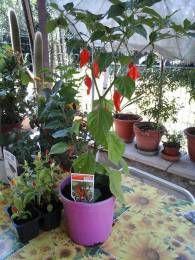 Come coltivare i peperoncini sul balcone