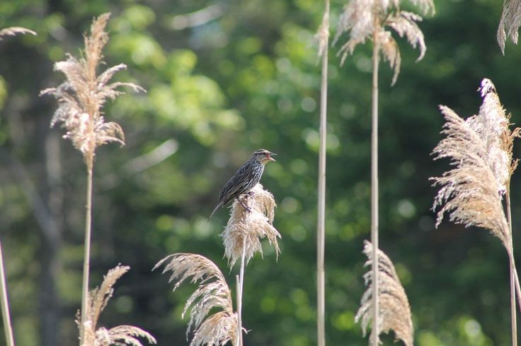 Female blackbird sings from atop a reed