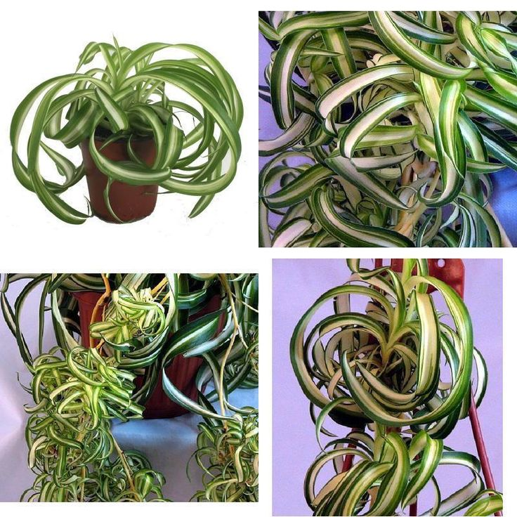 """Bonnie Curly Spider Plant Easy Cleans Air 4"""" Pot Indoor Houseplant Best Gift NEW #SpiderPlant"""