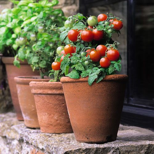 Dwarf 'Red Robin' cherry tomatoes,