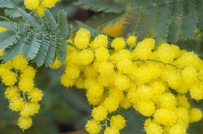 Bouturer les mimosas permet d'obtenir des plants aux caractéristiques similaires. Assez difficile, le bouturage de cet arbuste d'ornement nécessite gestes pr...