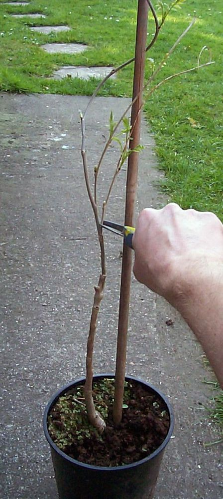 Standard Wisteria - How to train a Wisteria plant as a standard