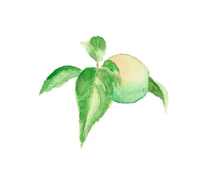 梅の実,梅,高塚由子,Yoshiko,Taaktsuka,水彩画,Watercolor,