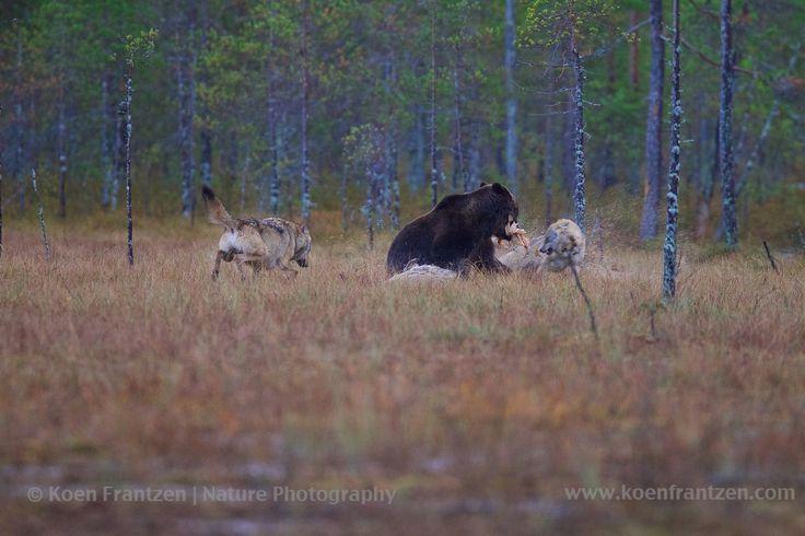 Bears & wolves, Finland  koenfrantzen.com