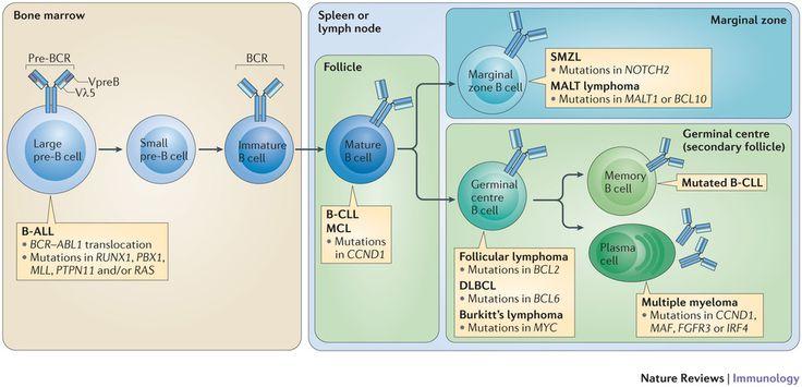 pre-germinal center B cell - Google Search
