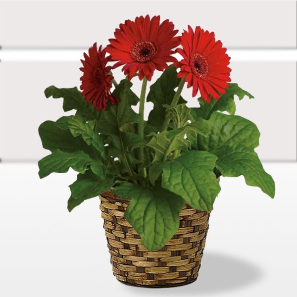 Gerbera House Plant With Lovely Flower On This Christmas Occasion Usa Specialoffer Christmas Plants Plant Delivery Plants
