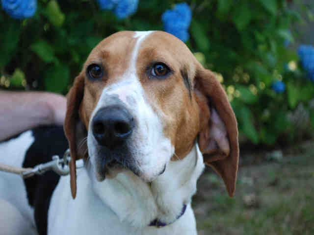 Superior Cape Cod Animal Rescue Part - 7: Daisy A Spayed Female, Tricolor Treeing Walker Coonhound Available For  Adoption At Our Cape Cod