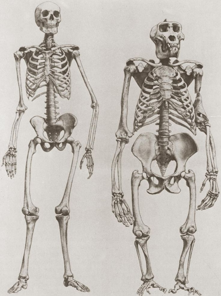 613 best images about skeleton - anatomy on pinterest | the skulls, Skeleton