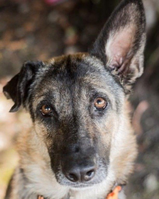 Beary Says Hi From Greater California German Shepherd Rescue In