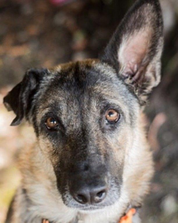 Beary Says Hi From Greater California German Shepherd Rescue In