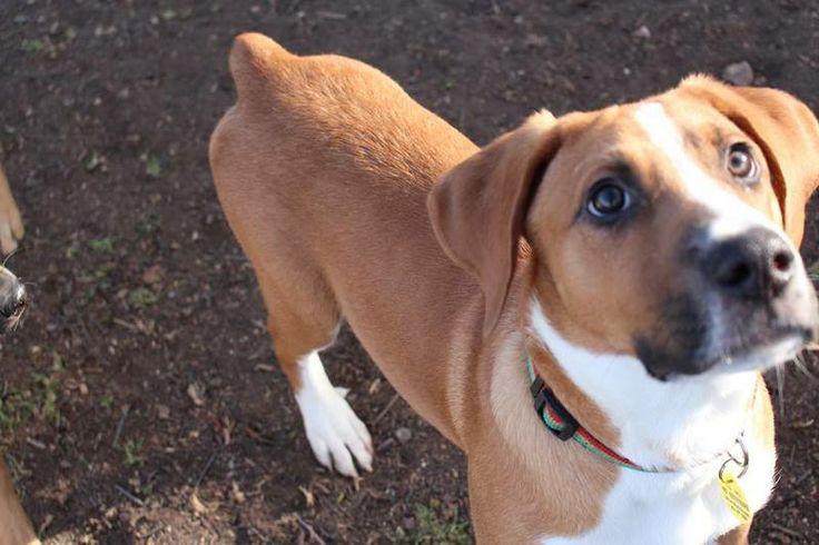 Rocky Boxer & Beagle Mix • Baby • Male • Medium PAWS Humane Society Killeen, TX