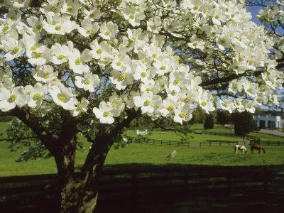 North Carolina State Tree Is The Dogwood Tree I Like