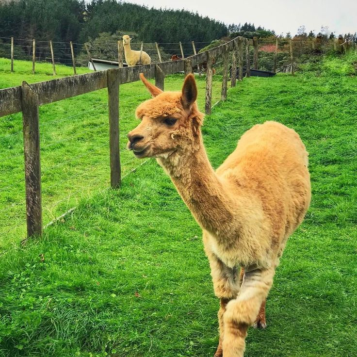 It's Friday! - - - #alpaca #alpacas #farmlife #animal #photooftheday #cute #pets #instagood #animales #cute #love #nature #animallovers #pets_of_instagram #petstagram #petsagram #nz #newzealand #auckland #farm #sky #grass #lovely #green #fun #funny #smile #smiles