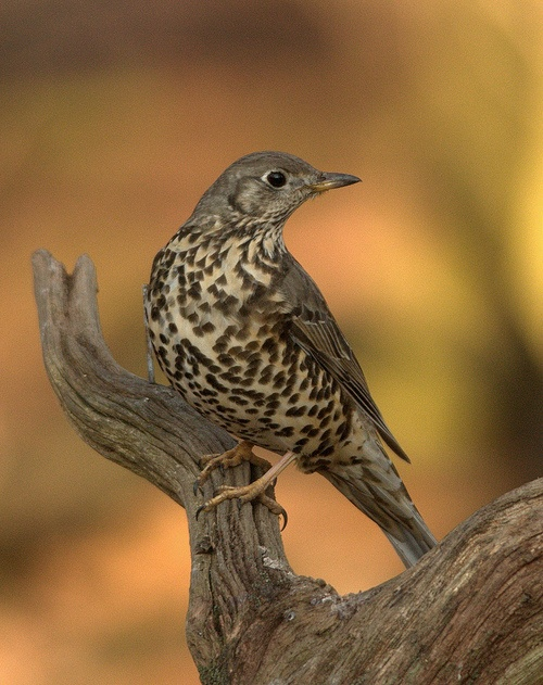 Mistle Thrush (Explored) (by S Hutchinson)