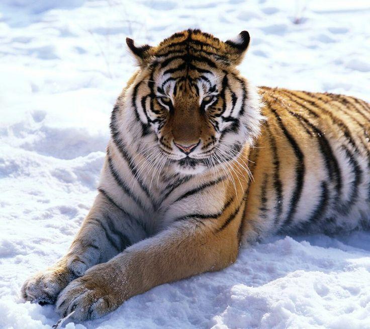 Bengal Tiger Cat   thecatwallpaper.com