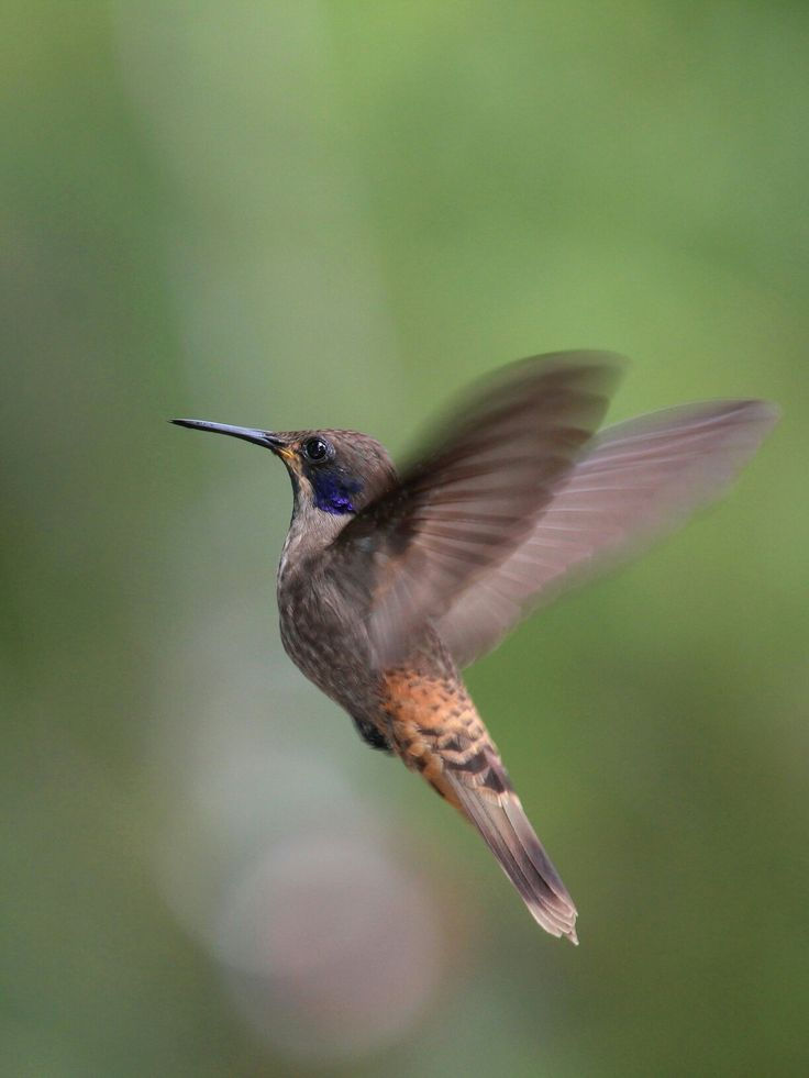 Brown Violetear Hummingbird photographed in Peru by Lee Mason.