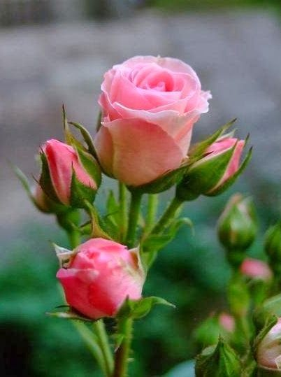Pink Roses ...... Also, Go to RMR 4 BREAKING NEWS !!! ...  RMR4 INTERNATIONAL.INFO  ... Register for our BREAKING NEWS Webinar Broadcast at:  www.rmr4international.info/500_tasty_diabetic_recipes.htm    ... Don't miss it!