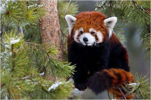 El panda rojo (Ailurus fulgens) en peligro de extinción