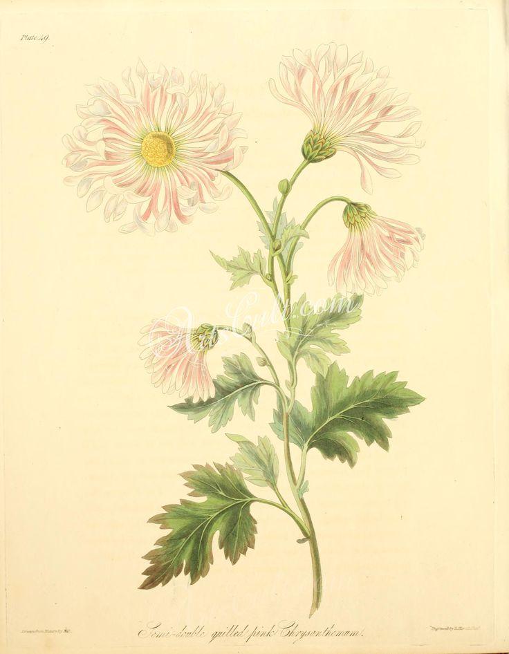 Semi double quill'd pink Chrysanthemum, chrysanthemum indicum      ...