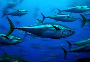 Bluefin tuna, super speedy fish with blood warming technology