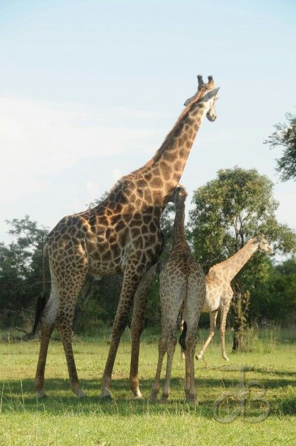 Giraffe,  Zebula South Africa