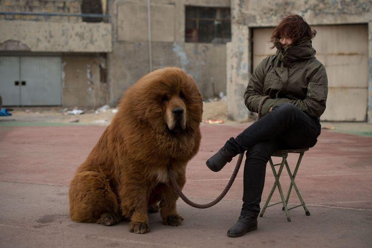 Un mastino tibetano in vendita a una fiera di mastini a Baoding, a sud di Pechino, in Cina. Il prezzo di un mastino tibetano si aggira attorno ai 750.000 dollari: per questo i mastini sono diventati una sorta di status symbol tra i ricchi cinesi. I proprietari dicono che i mastini, la cui razza discende dai cani usati per la caccia dalle tribù nomadi di Tibet e Asia centrale, sono leali e protettivi. (Ed Jones/AFP/Getty Images)