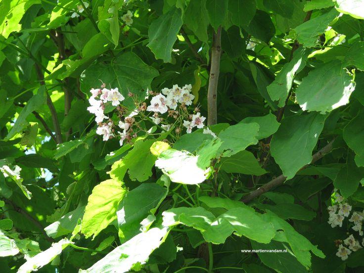 Catalpa bignonioides = trompetboom. De witte bloemen: tot 25 cm. lange pluimen, komen in (mei)juni – juli en de doosvruchten daaruit zijn lang en dun tot 35 cm. Deze snelgroeiende boom houd niet van een natte bodem, stelt verder weinig eisen. De bast schilfert in 'plaatjes' af, het blad is hartvormig en fors.