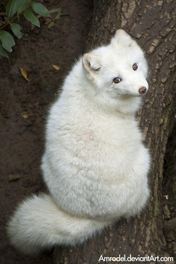 Arctic Fox - by amrodel on deviantART... Rrring ding ding da ding da ding ding! Lol