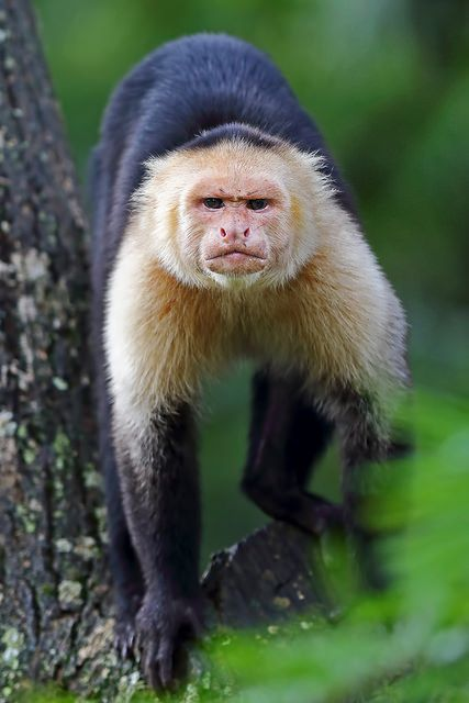 Capuchin Monkey by Jim Cumming       Central America and South America as far south as northern Argentina.