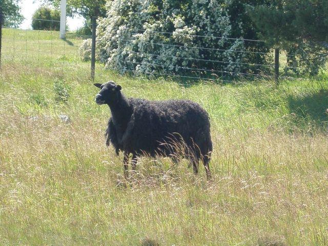 Gotland sheep