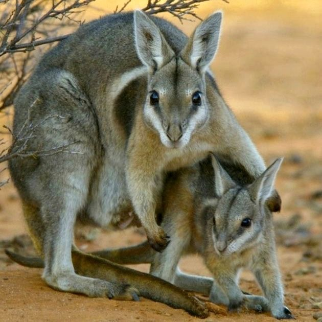 Raise the alarm!! This is the adorable Bridled Nail-tail Wallaby (Onychogalea fraenata) and there are only around 500 individuals left in the entire world