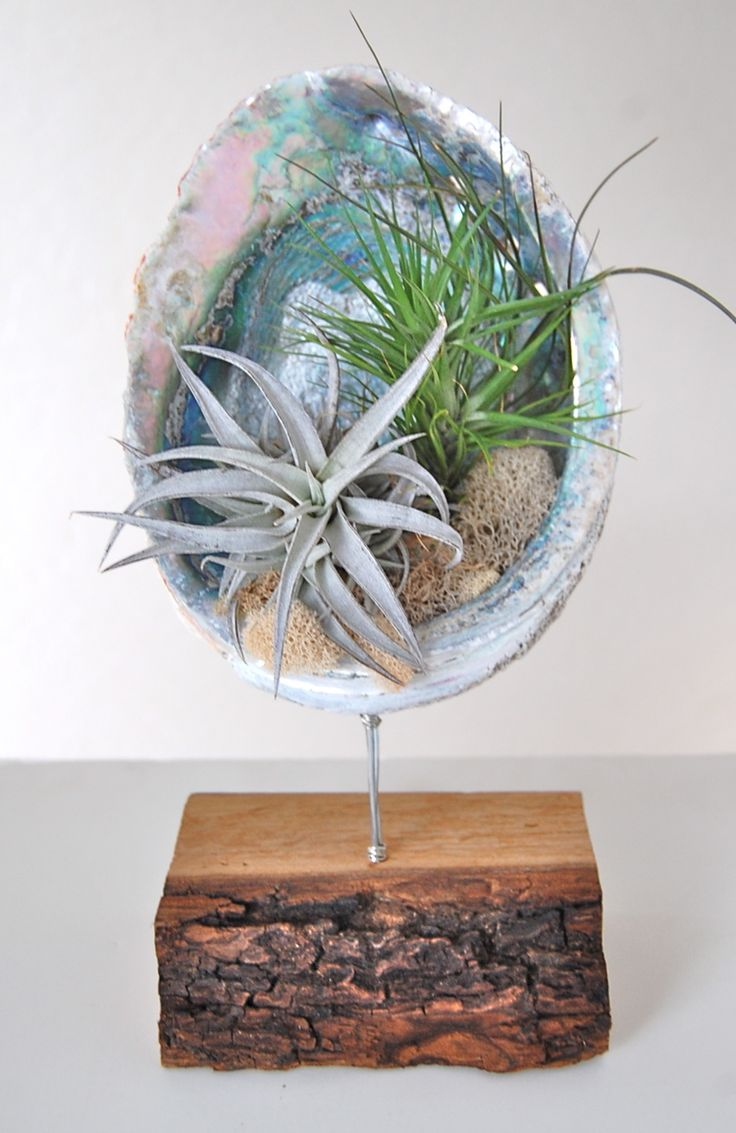 "ABALONE SHELL STAND WITH AIR PLANTS 8""-9"" shell on wooden stand- $69."
