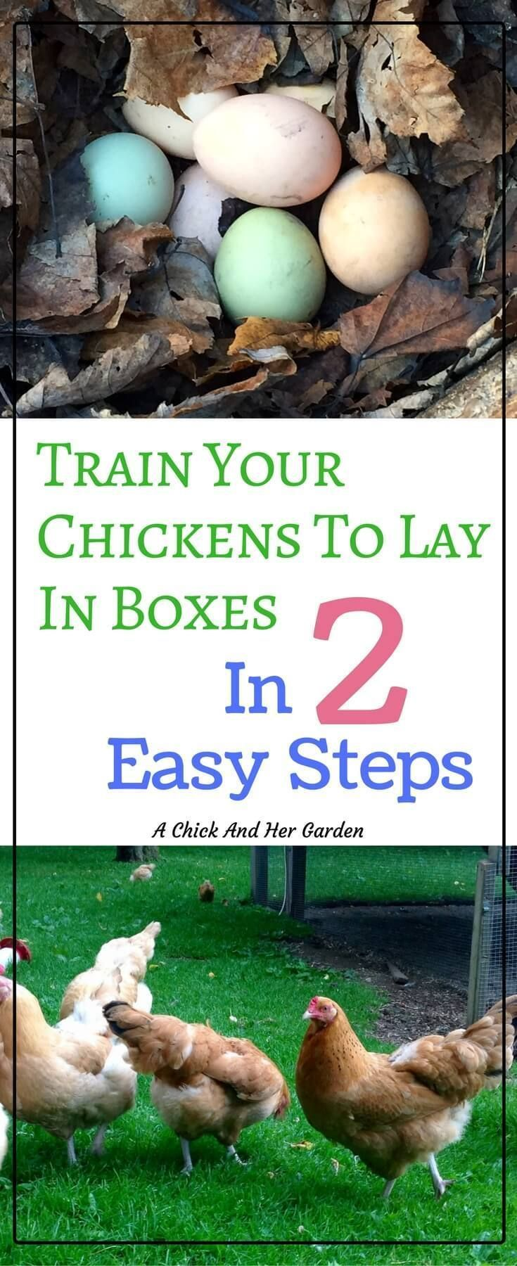 Going on an Easter Egg hunt everyday can be so frustrating! But all you need are these 2 steps and you can train your chickens to lay in the nesting boxes!