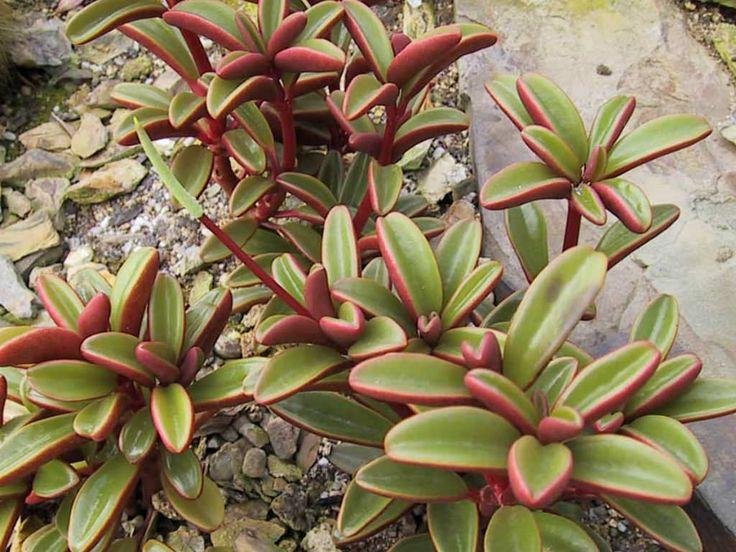 33 Best Sedums Images On Pinterest Succulents Succulent