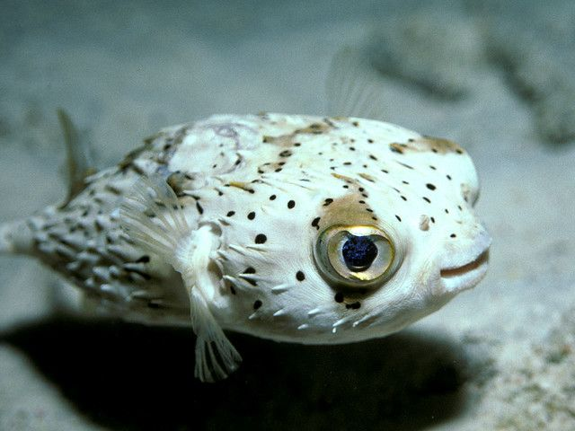 Party Balloonfish, Calabas Reef, Bonaire