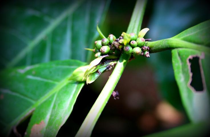 Pepper! Kerala, India