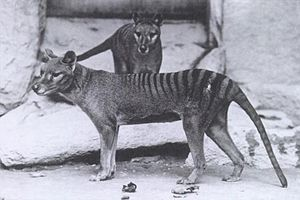 """Thylacines in Washington D.C., c. 1906. The thylacine (Thylacinus cynocephalus, Greek for """"dog-headed pouched one"""") was the largest known carnivorous marsupial of modern times. It is commonly known as the Tasmanian tiger (because of its striped back) or the Tasmanian wolf."""