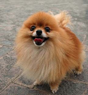 Pomeranian-had one when I was younger (Abby).I  want one this color and white.