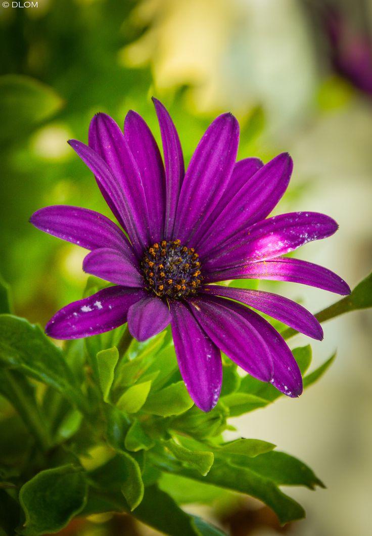 ~~Flower | Purple African Daisy | by DLOM~~ | Flowers ...