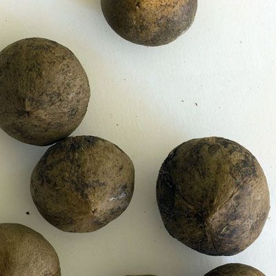 Jubaea chilensis.jpg