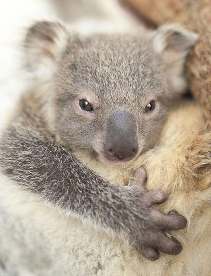 Le Symbio Wildlife Park, situé en Australie, a réalisé la première séance photo d'un bébé koala. Toujours collé à sa mère, le petit marsupial n'en est pas moins photogénique. Cette jeune femelle ne porte pas encore de nom, elle est sortie de la poche de sa mère Isabelle il y a seulement une semaine.