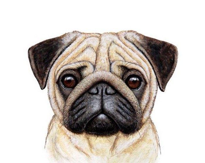 Imagenes De Perros Pug Carlino Fondos De Pantallas Y Mucho Mas Perros Pug Arte Pug Dibujos De Pugs