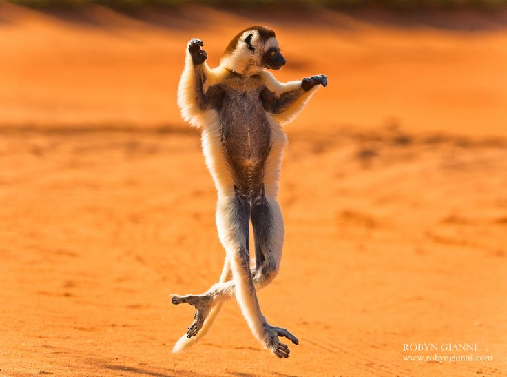 Madagascar, africa    http://www.100placestovisit.com/madagascar-malagasy-republic-africa/ # Madagascar #africa  #travel #seebeforeyoudie  #bucketlist #100places2visitHappy Dance, Lets Dance, Black Swan, National Geographic, Funnyanimal, The Challenges, Funny Animal, Madagascar, The Roller Coasters