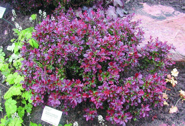 Latin: Berberis thunbergii 'Atropurpurea Nana' Höjd: Ca 0,3 m Växtsätt: Tätförgrenad, kompakt. Blommor: Obetydliga Bladverk: Mörkrött. Läge: Sol-halvskugga. Användning: Tillsammans med låga barrväxter, som låga häckar och i stenpartier. Härdighet: Zon 1-5 Anmärkning: Taggar.